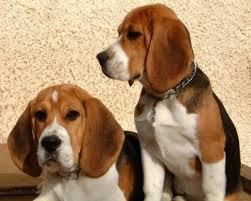 """Résultat de recherche d'images pour """"les beagles"""""""