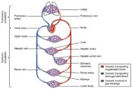 Pathway Of Blood Flow To The Right Kidney Flow Chart Transportation In Human Beings Circulatory System Blood
