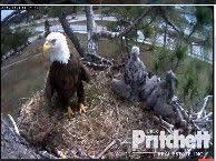 florida eagle cam. Interesting Eagle See Bald Eagles On The Southwest Florida Eagle Cam Live Stream Throughout A