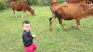 con bò | đi chăn bò cầm cây roi thật to | nhạc con bò | nhạc thiếu nhi -  YouTube