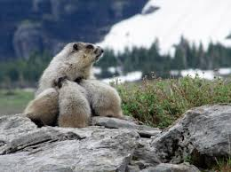 Marmot Mom Photo by Jan Knight -- National Geographic Your Shot | What a  beautiful world, Wildlife photography, National geographic