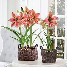 gifts of gladness amaryllis
