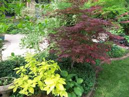the yellow shrub is a garden glow dogwood cornus hesseyii
