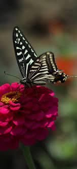Pink flower, black butterfly, spring ...