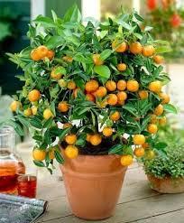 Fruit Trees In Small Spaces U2014 Timber PressSmall Orange Fruit On Tree