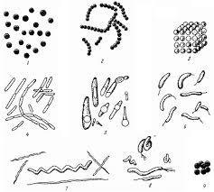 Основы микробиологии Классификация микроорганизмов Бактерии