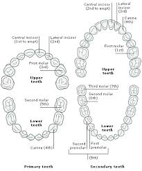 Tooth Numbering System Uk Related Keywords Suggestions