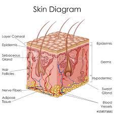 Medical Education Chart Of Biology For Skin Diagram Buy