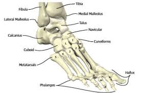 Ankle Bone Chart Bones In The Foot And Ankle Region Medial Lateral View Of