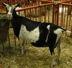 Dairy Goat Breeds Breeds Of Dairy Goats Alpine
