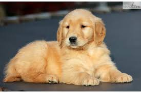 cute golden retriever puppies for sale. Simple For Meet Asia A Cute Golden Retriever Puppy For Sale 800   Female To Cute Puppies For Sale E