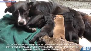 Malnourished dog and her eight puppies rescued by Humane Society of Tampa  Bay