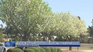 Tree Experts Send Warning About Bradford Pear Trees Fascinating Pears Ghandi