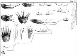 Typification of Trifolium latinum Sebast. (Fabaceae) and comparison ...