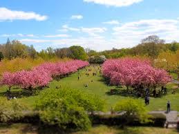 cherry blossoms brooklyn botanic garden