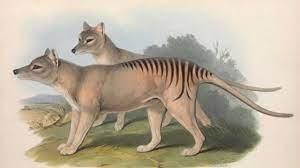 Tigre della Tasmania estinta - Idee Green
