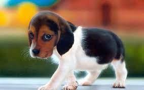 Beagle HD Wallpaper