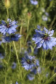 Nigella <b>Blue Love In</b> The Mist Flower Seeds/Miss Jekyll <b>Light Blue</b> ...