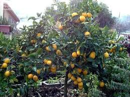lemon tree x: plantfiles pictures meyer lemon tree meyers lemon tree valley lemon meyer citrus x meyeri by jkom
