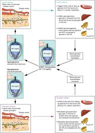 Hyperglycemia Blood Sugar Levels Chart The Endocrine Pancreas Anatomy And Physiology Ii