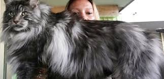 Maine Coon Cat Weight At 1 Year Best Cat Wallpaper