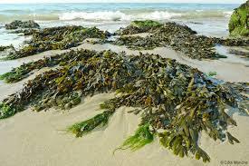 """Résultat de recherche d'images pour """"Les algues"""""""