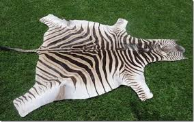 african burchell zebra hides skins a grade