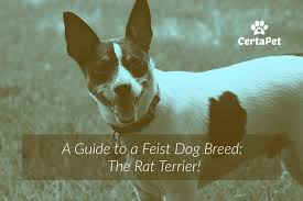 Rat Terrier Size Chart A Guide To A Feist Dog Breed The Rat Terrier Certapet