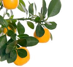 Buy Small Tangerine Narangi Chinese Orange Fruit Plant In DelhiSmall Orange Fruit On Tree