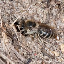 ground dwelling bees restoring the landscape with native plants ground nesting bee