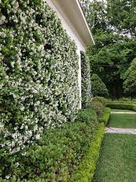 Best 25 Climbing Roses Ideas On Pinterest  Roses Climbing Wall Climbing Plants Southern California