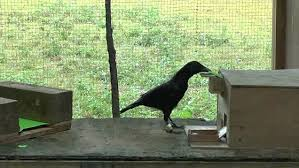 Crow Vending Machine Amazing Video Crow Shapes Paper Tool To Activate A Vending Machine Daily