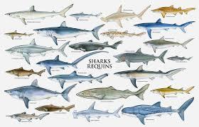 Types Of Sharks Chart Shark Chart Megamouth Shark Species Of Sharks Shark