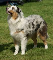 black and white spotted german shepherd. Interesting White In Black And White Spotted German Shepherd
