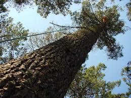 Resultado de imagen de Picea Abies foto de un tronco en xeral
