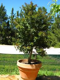 trees for pots containers