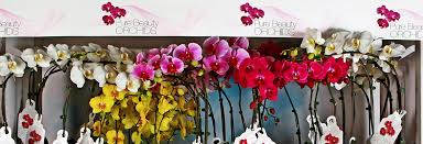 pure beauty phalaenopsis orchids plainview growers 1 800 flowers 06