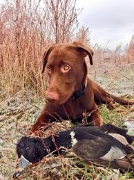 chocolate lab duck. Delighful Duck Hunting Dog Duck Chocolate Lab CabelasCanine Inside Lab B