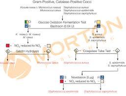Gram Positive Cocci Identification Flowchart Best Picture