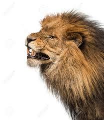 Lion Dessin Illustration Dun Grand Lion Sur Un Fond Blanc L