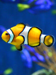 black and yellow clown fish. Wonderful Black But Clown Fish Can Come In Different Colours Like Black Orange White  Red Yellow Etc Now You Know A Lot Of Colours With Black And Yellow K