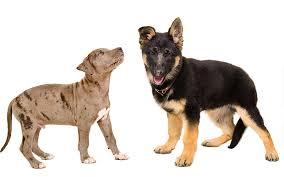 bull terrier german shepherd mix. Modren Shepherd German Shepherd Pitbull Mix Throughout Bull Terrier German Shepherd Mix 3