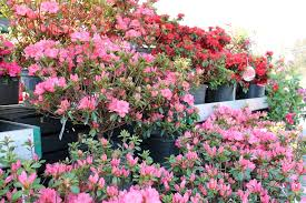 blooming pink and purple azaleas hanging baskets dripping with pretty petals and leaves decorative and eye catching patio pots rose bushes
