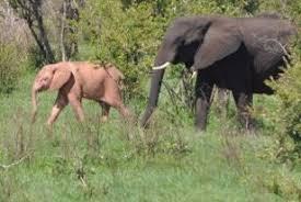 white elephant animal. Delighful Elephant Albino Elephant Kruger On White Elephant Animal E