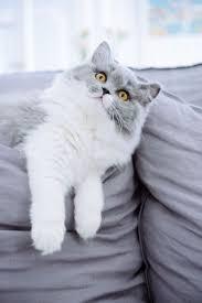 257 best British Shorthair cats kittens images on Pinterest