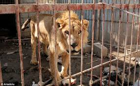 only a bear and a lion remain at mosul zoo held by isis daily  an emaciated lion pictured and bear are the last animals left in mosul zoo