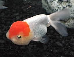 Lionhead Goldfish Chinese Lionhead Goldfish Information