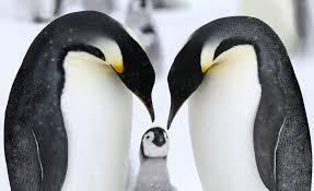 penguin love wallpaper. Interesting Love Penguin Love And Love Wallpaper O