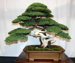 office bonsai tree. Contemporary Office 50 Juniper Bonsai Tree Potted Flowers Office Purify The Air Absorb  Harmful Gases Seeds Intended Office Bonsai Tree L