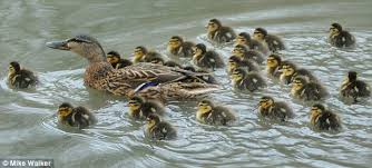 Record Breaking Mallard Takes To The Water With Huge Brood